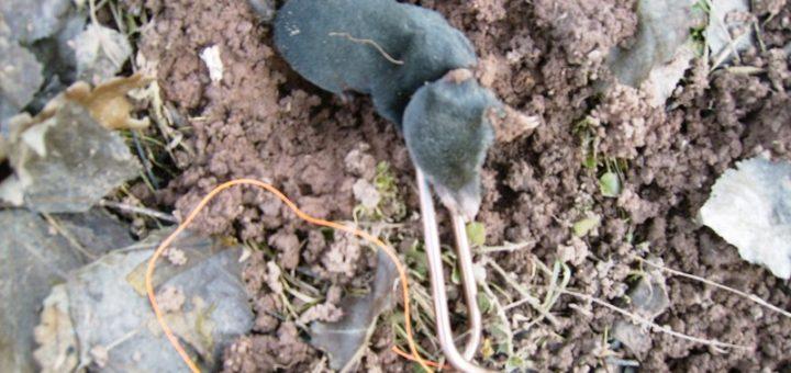 Comment tuer les taupes efficacement taupier sur la france - Comment tuer un rat ...