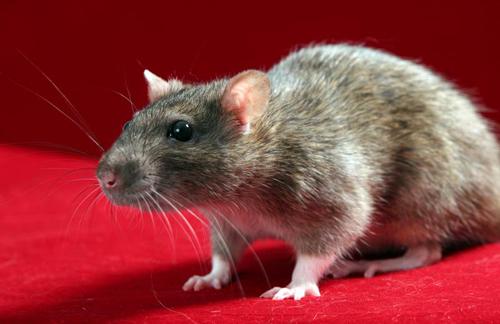 comment faire pour se d barrasser des rats taupier sur. Black Bedroom Furniture Sets. Home Design Ideas
