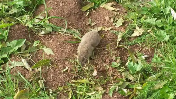 Rat taupier auvergne taupier sur la france - Comment se debarrasser d une taupe dans son jardin ...