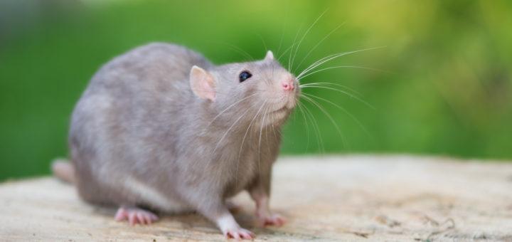 Comment se d barrasser des rats dans le jardin taupier sur la france - Comment se debarrasser des rats ...