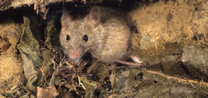 Comment se d barrasser des rats taupier sur la france - Comment se debarrasser des rats ...