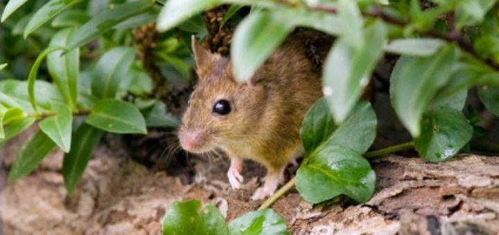 Mulot des jardins taupier sur la france - Comment attraper un rat ...