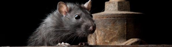 solution pour eliminer les rats taupier sur la france. Black Bedroom Furniture Sets. Home Design Ideas