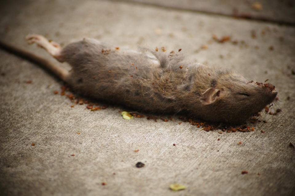 Des rats dans les murs taupier sur la france - Faire fuir les rats ...