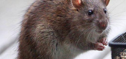 comment tuer un rat dans une maison les meilleures ides de la catgorie piges souris sur. Black Bedroom Furniture Sets. Home Design Ideas