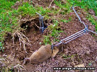 Comment pieger un rat taupier sur la france - Comment tuer un rat ...