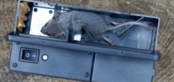 Comment tuer un rat rapidement taupier sur la france - Comment tuer une taupe ...