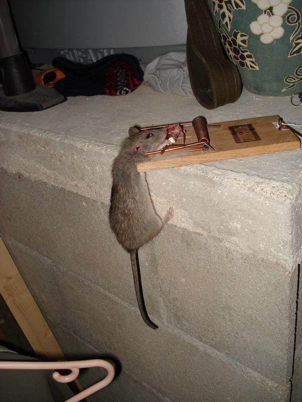 comment se débarrasser des rats dans les combles - taupier sur la