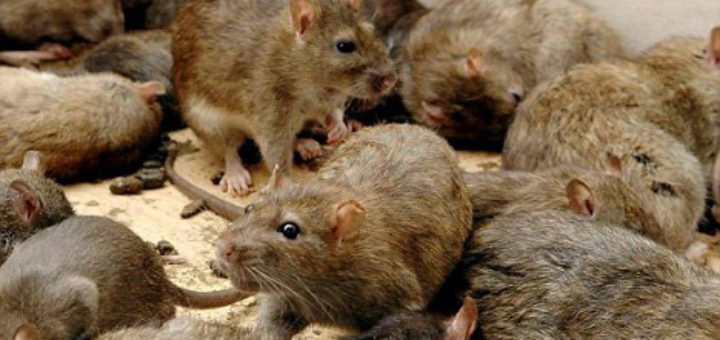 Se d barrasser des rats taupier sur la france - Comment se debarrasser des rats ...