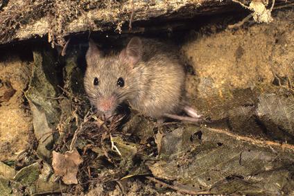 se d barrasser des souris dans une maison taupier sur la. Black Bedroom Furniture Sets. Home Design Ideas