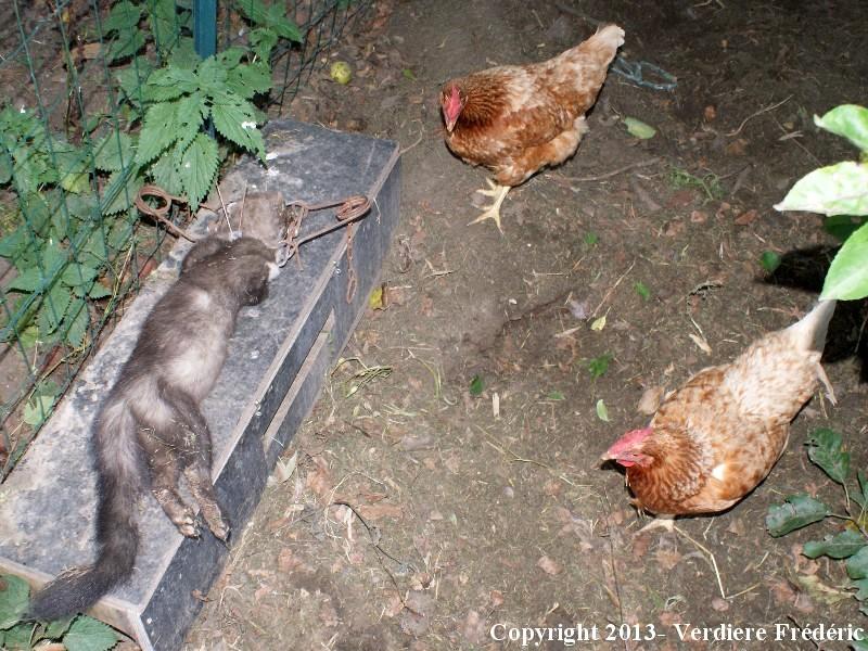 Piege fouine taupier sur la france - Comment attraper un rat ...