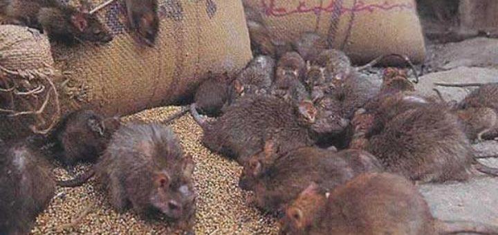 comment tuer les rats dans une maison taupier sur la