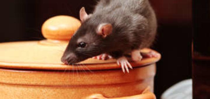 Rat comment s en d barrasser taupier sur la france - Comment attraper un rat ...