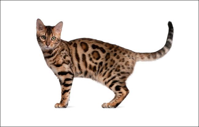 combien coute un chat de bengal