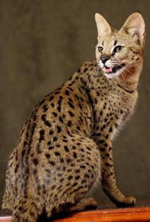 Combien coute un chat serval - taupier sur la France