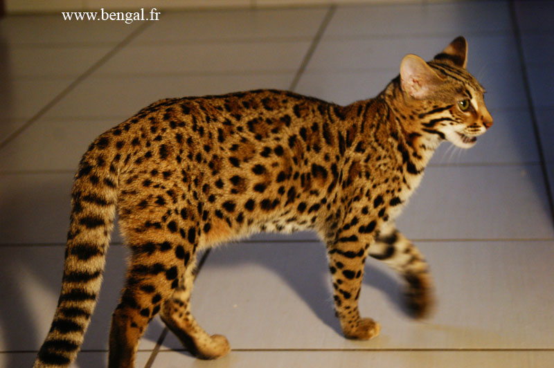 Chat bengal brown spotted tabby