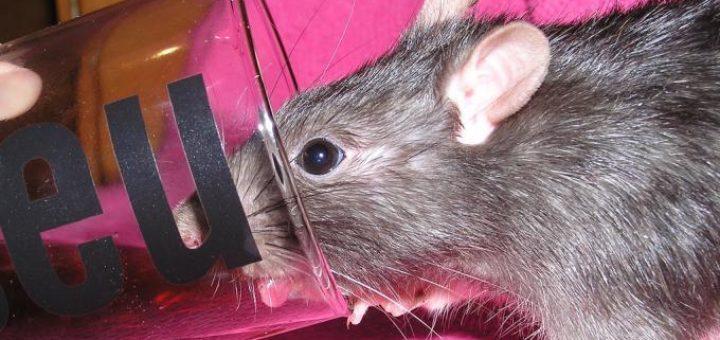 comment supprimer les rats taupier sur la france. Black Bedroom Furniture Sets. Home Design Ideas