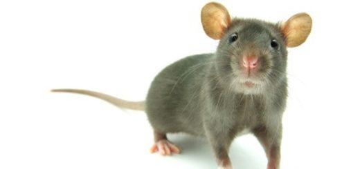 Comment se d barrasser des rats dans une maison taupier sur la france - Comment se debarrasser des rats ...