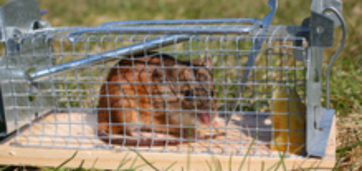 cage attrape rat taupier sur la france. Black Bedroom Furniture Sets. Home Design Ideas