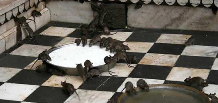poison pour rat fait maison taupier sur la france. Black Bedroom Furniture Sets. Home Design Ideas
