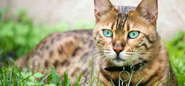 Miaulement chat bengal taupier sur la france - Chaton bengal gratuit ...