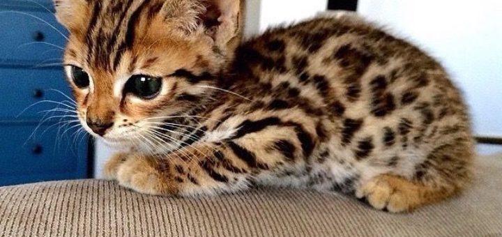 Chat guepard taupier sur la france - Chaton bengal gratuit ...